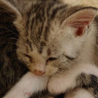 【4匹兄妹の仔猫です】トラ柄のグレー色の女の子