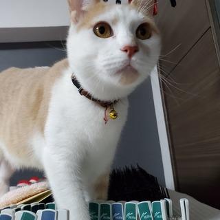 茶白猫 オス  里親募集