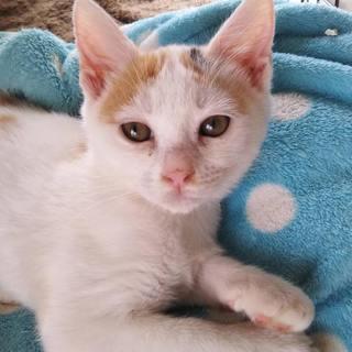 白三毛の可愛い仔猫、みなちゃん