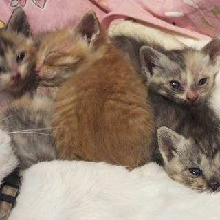10月22日生れ生後1か月の子猫4匹・三毛他