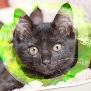 3ヶ月♀黒猫エンジェルマーク甘えん坊ムーア