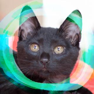 3ヶ月♀輝く黒猫甘えん坊ムール