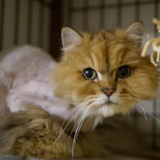 飼い主入院の為■9匹の大人猫ご縁募集■しゃもん