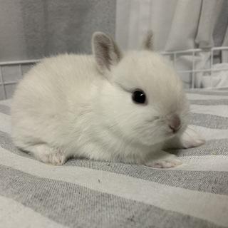 ネザーランドドワーフ 白い子ウサギ