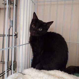 黒猫の女の子生後3~4か月
