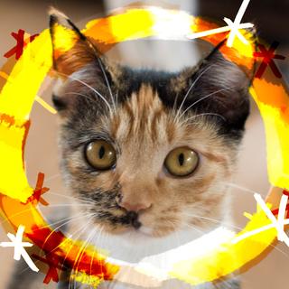 猫初心者向け三毛♡童顔ナタリー7ヶ月♀