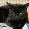 大きな黒猫モルガナくん