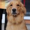 避妊済み3才5か月女の子~繁殖引退犬~ サムネイル2