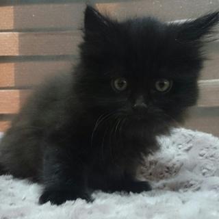 黒猫グレー混じりのふわふわ