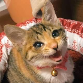 【レノア】元気いっぱいちっちゃな三毛猫