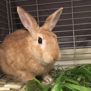 【保護】きんしろうくん(ミニウサギ)