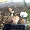 ウサギ(ネザーランドドワーフ)の里親募集