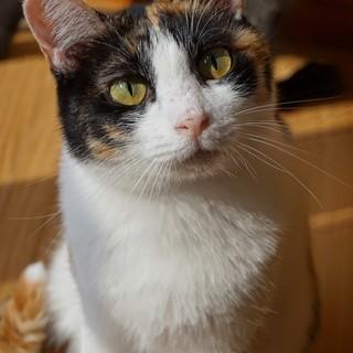 甘えん坊の三毛猫さん。ぶち子です。