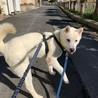 トレーニング中!賢い紀州犬小太郎くん!