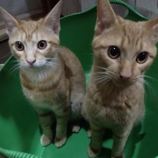 陽気な茶トラ兄弟 ロミオとジョナサン♂6か月