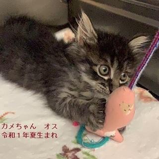 長毛の黒トラ美猫カメ君♪