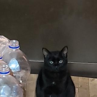 6か月イケメン黒猫ちゃん 去勢済み