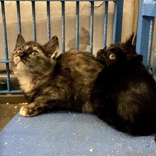 幼い黒サビ子猫2匹のおうちを探しています