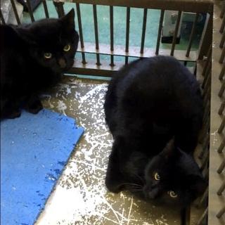 一歳未満の黒猫2匹おうちを探しています