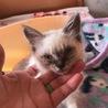虐待からレスキューした可愛いシャムミックス仔猫