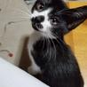 約生後3カ月メス仔猫の里親募集します。