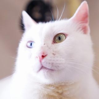 真っ白オッドアイの甘えた猫