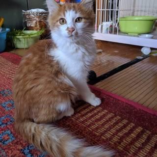 長毛のきれいな子猫です