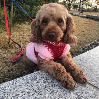 3歳 プードル×コッカ―MIX 女の子