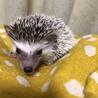 10月29日生まれのハリネズミの赤ちゃん