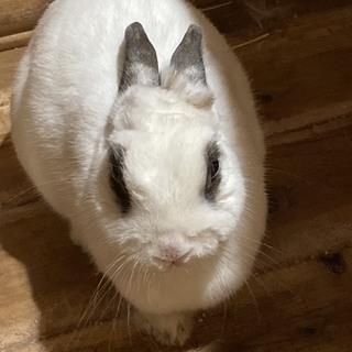 なでなでが大好きなミニウサギ