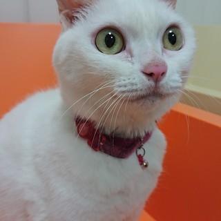 可愛い白猫ちゃんの里親募集中!