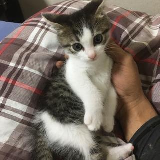 グレーのオス仔猫(生後2ヶ月くらい)