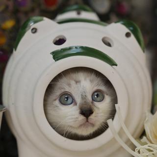 珍しい2色の光彩を持つ子猫(ペアのみ譲渡可)