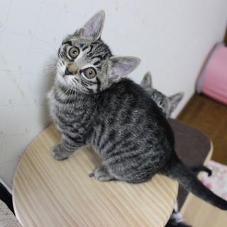 生後2ヶ月半。保護猫☆サクラ