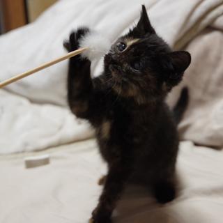 サビ子猫♀(生後2ヶ月)甘えん坊♪