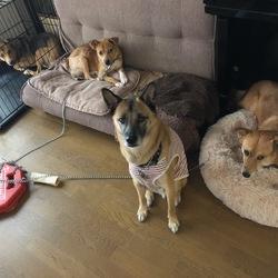 倉敷っ子、野犬の室内飼育について