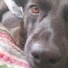 ぴとっと甘える10kg琉球犬MIX女子タピオカ サムネイル6