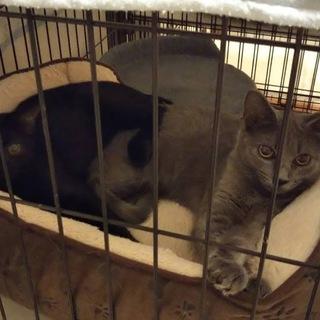 ロシアンブルー風の子猫 ナナちゃんと兄妹