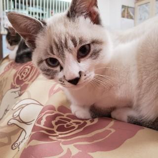 8月生まれの子猫 北斗兄妹 シャム系 トキ♂