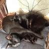 黒猫2兄弟♂ サムネイル2