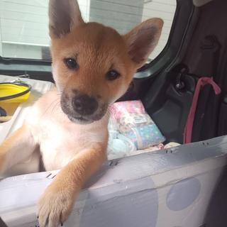 ペットショップから戻された柴犬の子犬