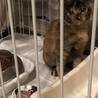 可愛すぎる美猫サビちゃん♡3か月の女の子 サムネイル3