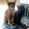 可愛すぎる美猫サビちゃん♡3か月の女の子 サムネイル5