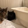 可愛すぎる美猫サビちゃん♡3か月の女の子 サムネイル7