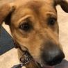 8歳大型犬「リキ」 サムネイル2