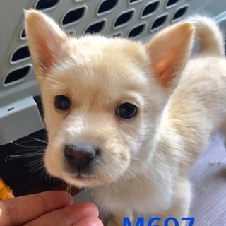 個体番号:M697 可愛い小犬