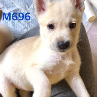 個体番号:M696 可愛い仔犬です。