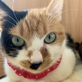 まるいお顔の三毛猫【小梅】ちゃん♪