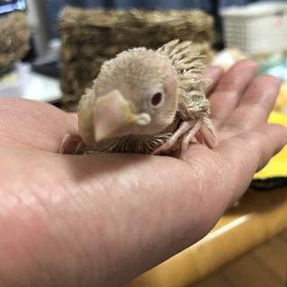 シナモン文鳥雛