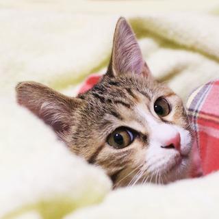 抱っこでゴロゴロが止まらない♡美形の三毛猫ピリカ